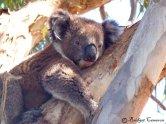 Hot Koala.