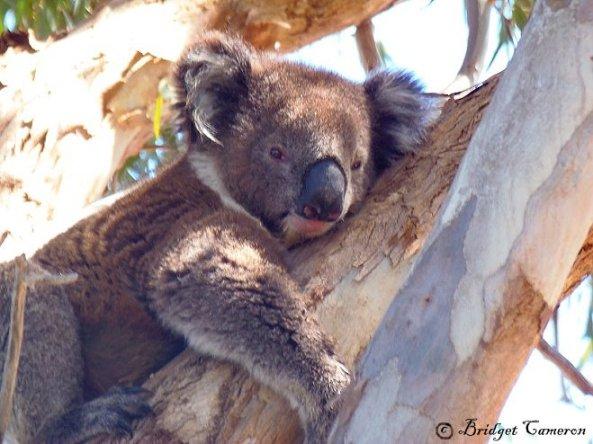 DELIGHTFUL KOALA VISIT