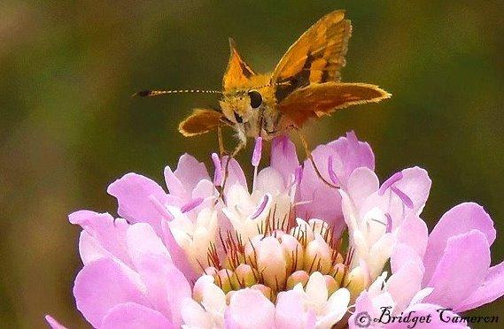 Southern Dart-Skipper Butterfly delight