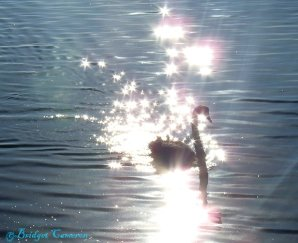 Black Swan starlight.
