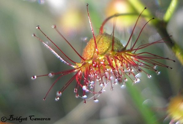 Sun Dew Magic (Drosera palida)