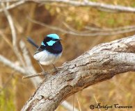Superb Fairy Wren