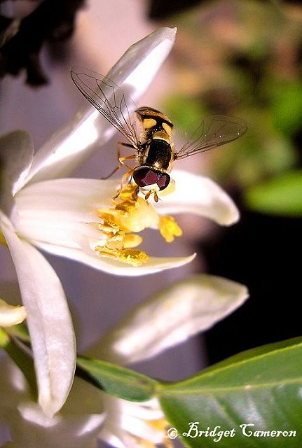 Hoverfly (Eupeodes corolae) drinks nectar from Tangelo flower.