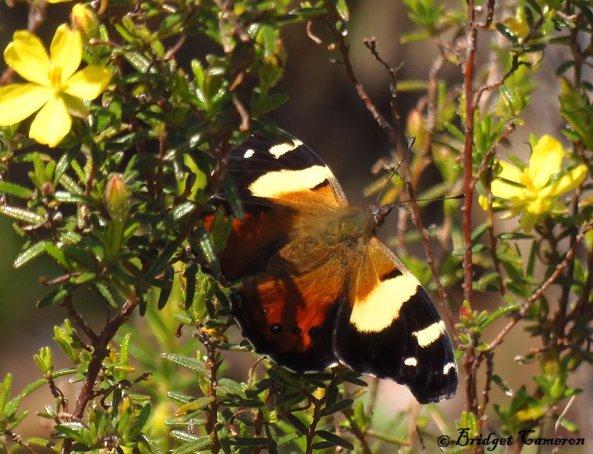 Australian Admiral Butterfly ( Vanessa itea ).