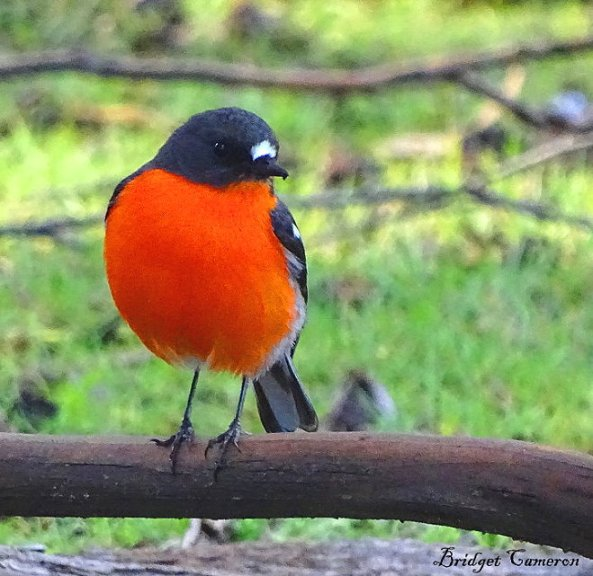 robin-red-breast-s-for-wordpress-by-bridget-cameronjpg