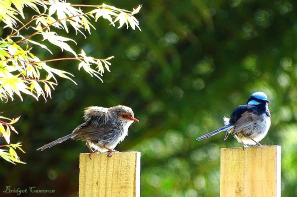 superb-fairy-wrens-sfe-by-bridget-cameronjpg