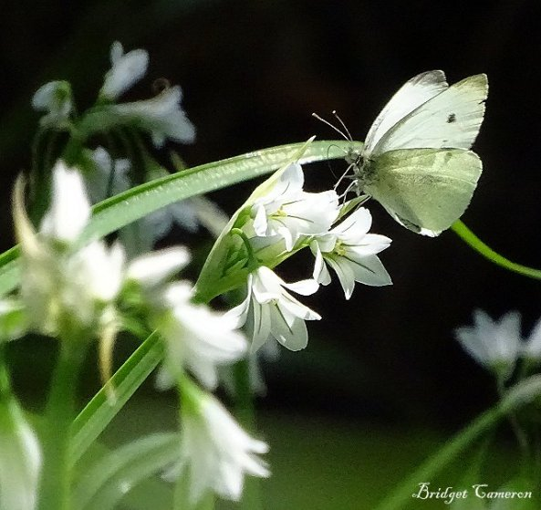 macro-cabbage-butterfly-sfe-by-bridget-cameron