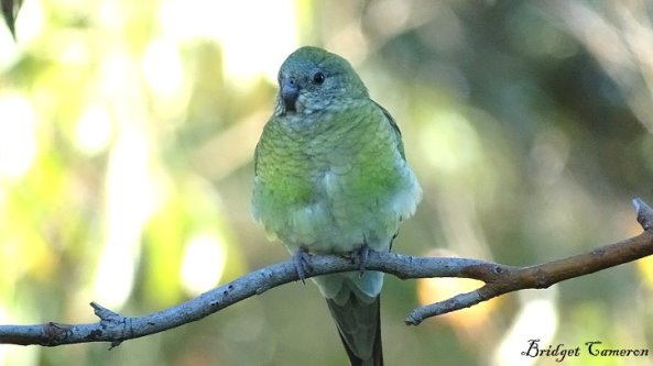 female red rumped parrot sfe by Bridget Cameron
