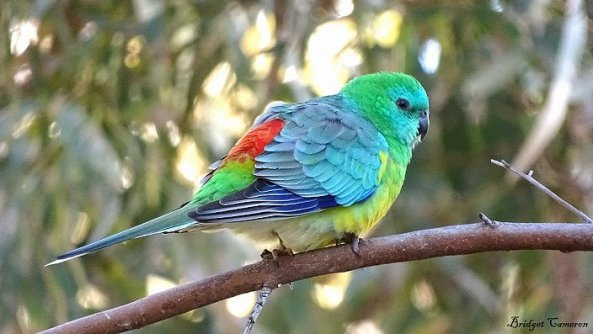 red rumped parrot 1 sfe smaller