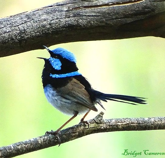 singing fairy wren by Bridget Cameron 1