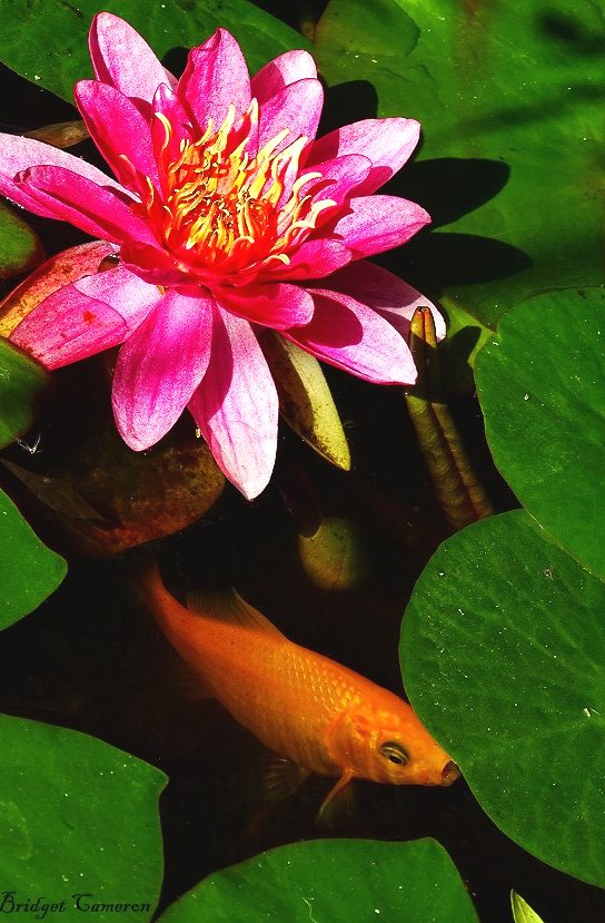 charles de meurville water lily and gold fish by bridget Cameron