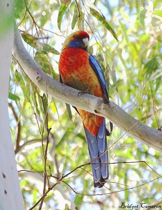 adelaide rosella cropped sfe by Bridget Cameron